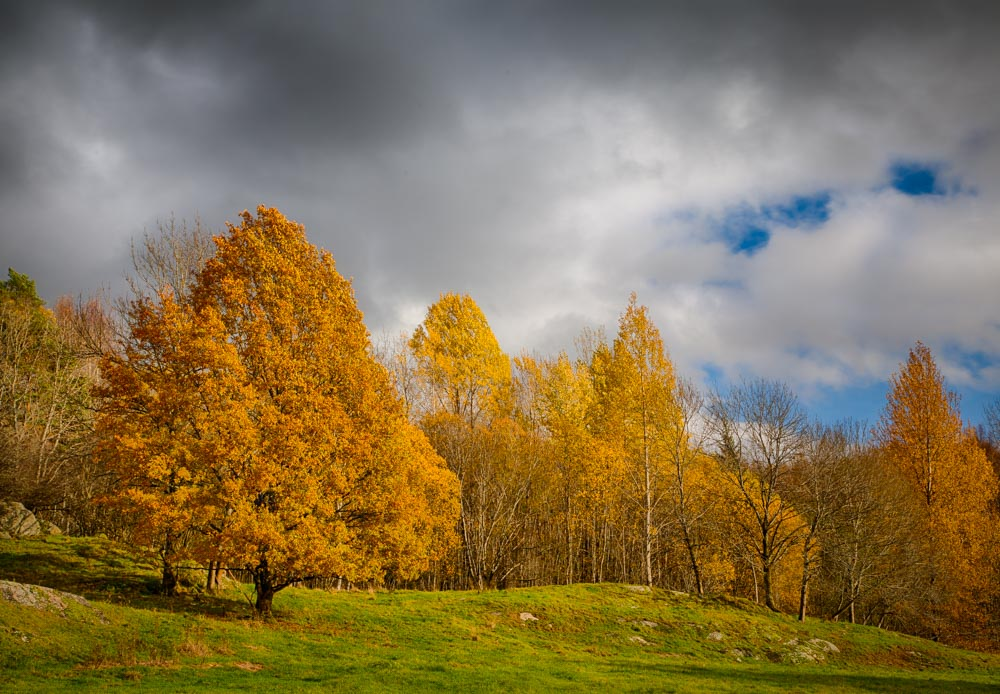 Yellow trees - the most typical of the autumn colors. Photo: John Einar Sandvand
