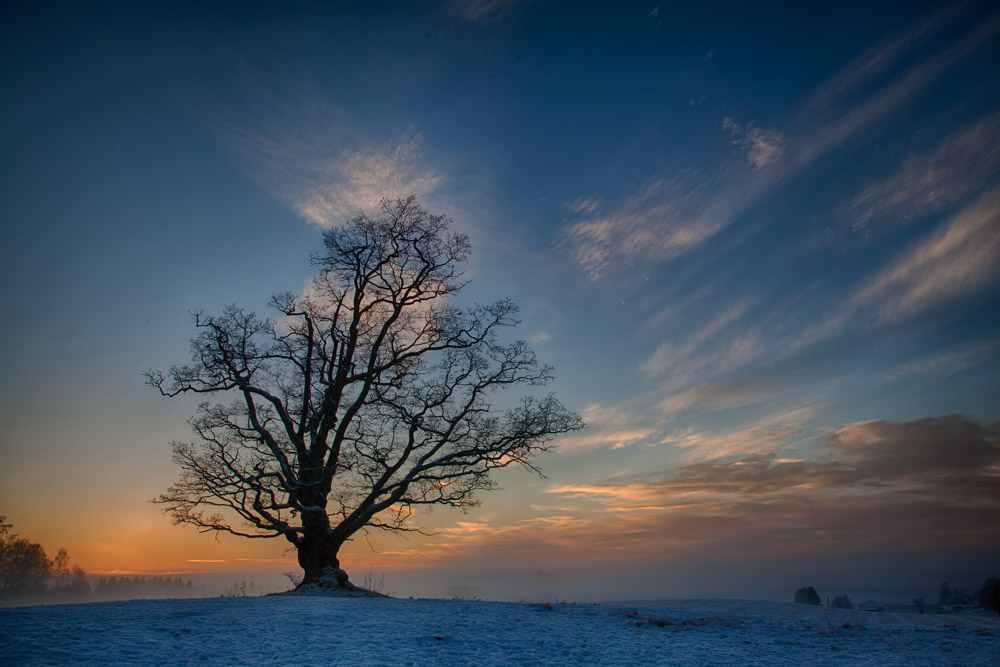 The old Ås oak. Photo: John Einar Sandvand
