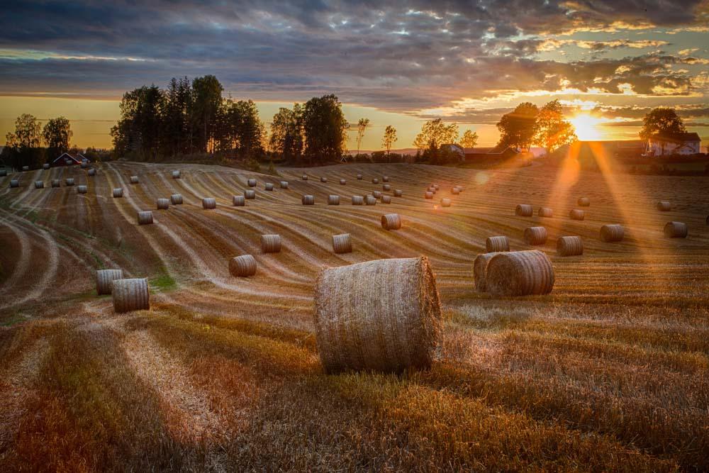 Solnedgang i åkeren. Foto: John Einar Sandvand