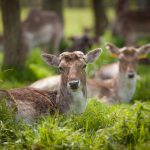 A close-up photo meeting with the deer in Phoenix Park