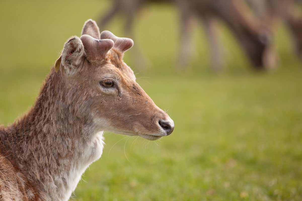 Deer in Phoenix Park in Dublin. Photo: John Einar Sandvand