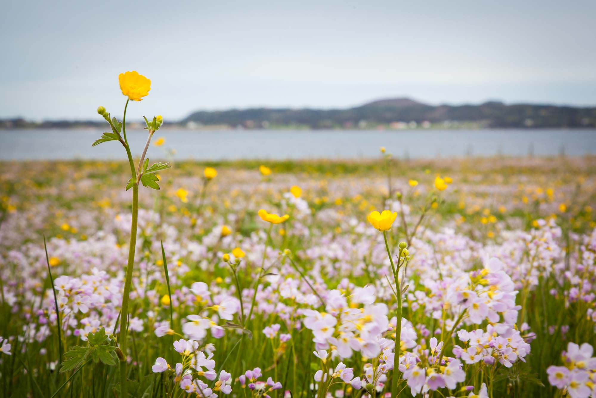 Flower field at Haramsøy, Norway. Photo: John Einar Sandvand
